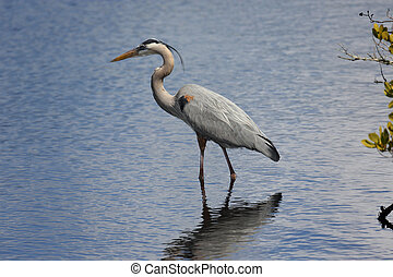 Great Blue Heron hunting in a saltwater marsh