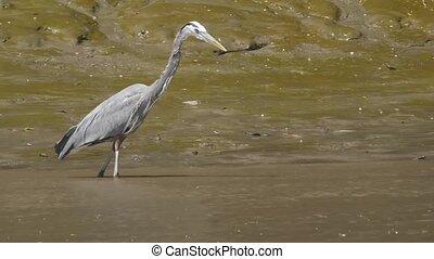 Great Blue Heron in a Costa Rica river.