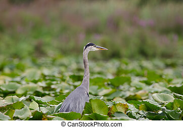Great Blue Heron in a marsh wetlands