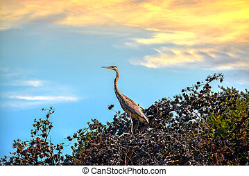 Great Blue Heron in a Pine Tree at Sunset