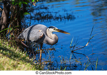 Heron in Everglades - Great blue Heron in Everglades...