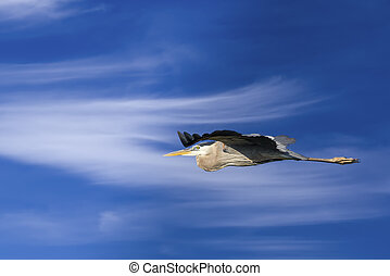 Great Blue Heron in Flight - Great Blue Heron in flight
