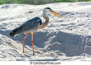 Great Blue Heron in Galapagos