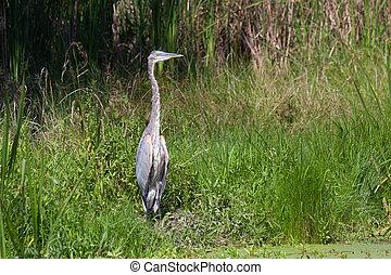 Great Blue Heron in Green Marsh
