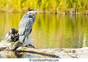 Great Blue Heron in Marshland