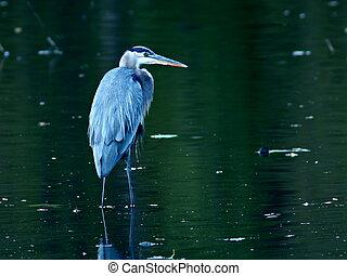 Great Blue Heron in Pond