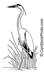 Great Blue Heron (Ardea herodias) sketch in reeds