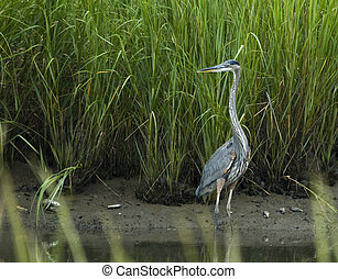 Great Blue Heron in Salt Marsh - Great Blue heron in...
