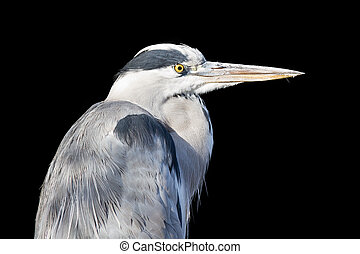 Great blue heron isolated