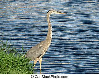 Great Blue Heron lake 2