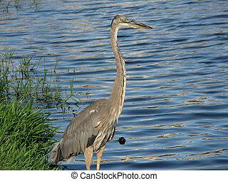 Great Blue Heron Lake 3