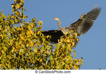 Great Blue Heron Landing in a Golden Autumn Tree