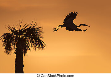 Great Blue Heron Leaving its Nest at Sunrise - Florida -...