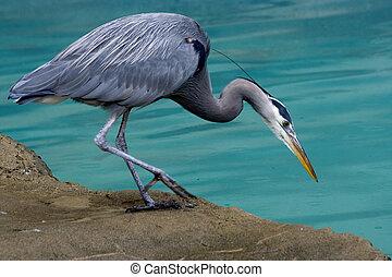 Great Blue Heron Looking