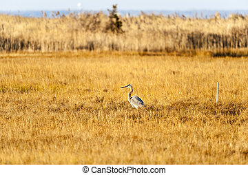 Great Blue Heron marsh