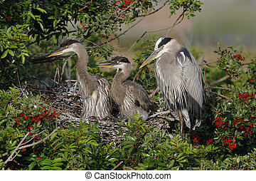 Great Blue Heron mother with two offspring in her nest - Florida