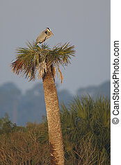 Great Blue Heron Nesting on a Palm Tree - Florida