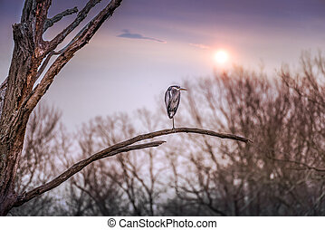 Great Blue Heron on a dead tree branch at sunset