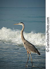 Great Blue Heron on a Gulf Coast Beach with Waves - A sunlit...