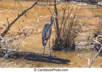 Great blue heron on a log