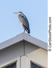 Great blue heron on a roof