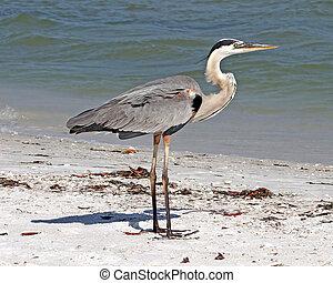 Great Blue Heron on beach