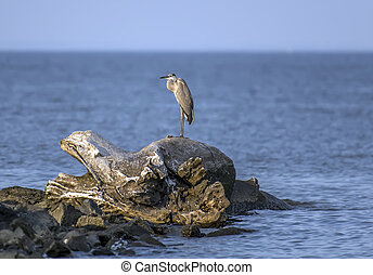 Great Blue Heron on Chesapeake Bay