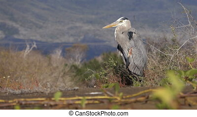 Great blue heron on Galapagos Islands - Great blue heron...