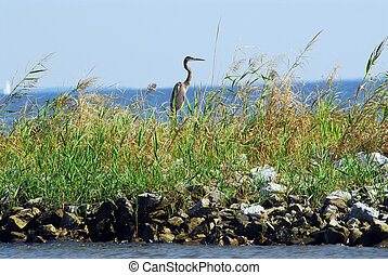 Great Blue Heron on jetty - Great Blue Heron standing on a...