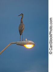 Great Blue Heron on  lamp post