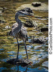 Great blue heron on rock in shallows