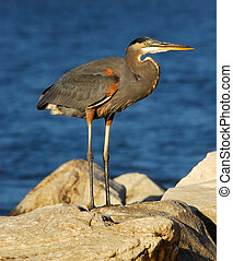 Great Blue Heron on rock