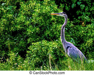 Great Blue Heron, on the bank of a marsh pond in a South Florida wetland