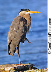 Great Blue Heron on the Chesapeake Bay - Great Blue Heron...