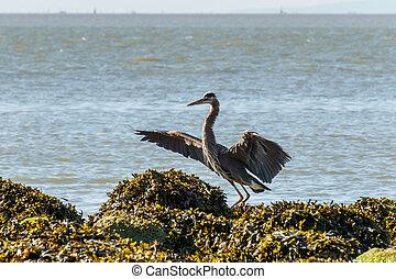 Great Blue Heron on the ocean coast