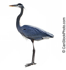 Great Blue Heron On White Background