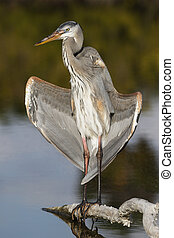 Great Blue Heron opening its wings to the sun - Estero Island, Florida