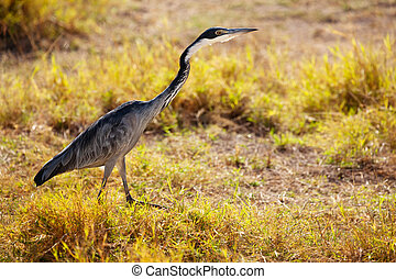 Great Blue Heron or Ardea Herodias in nature Kenya - Great ...