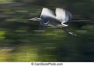 Great Blue Heron - Panning shot of blue heron in flight...