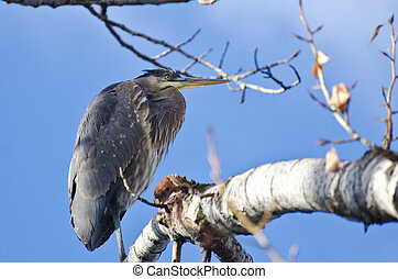 Great Blue Heron Perched in a Tree
