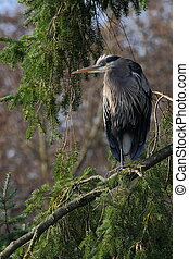 Great Blue Heron perched in Tree