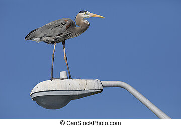 Great Blue Heron perched on a light over a fishing pier - Pinellas County, Florida