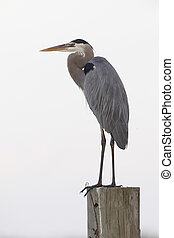 Great Blue Heron perched on a post - Merritt Island Wildlife Refuge, Florida