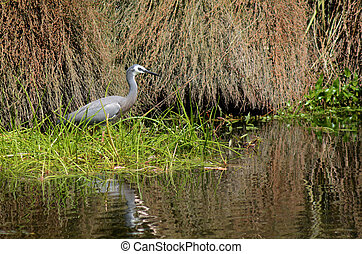 Great blue heron fishing in a pond.