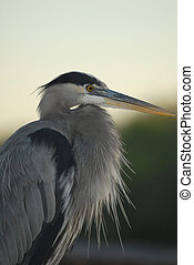 Great Blue Heron Portrait - A profile view of a great blue...