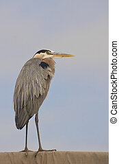 Great Blue Heron - Profile view of great blue heron