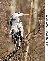 Great Blue Heron resting in a tree