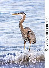 Great Blue Heron Splash
