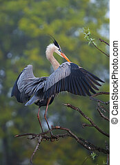Great Blue Heron spreading wings. It is the largest North American heron.