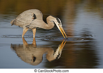Great Blue Heron stalking a fish - Estero Island, Florida